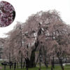 深堂の桜・畑のしだれ桜 信楽